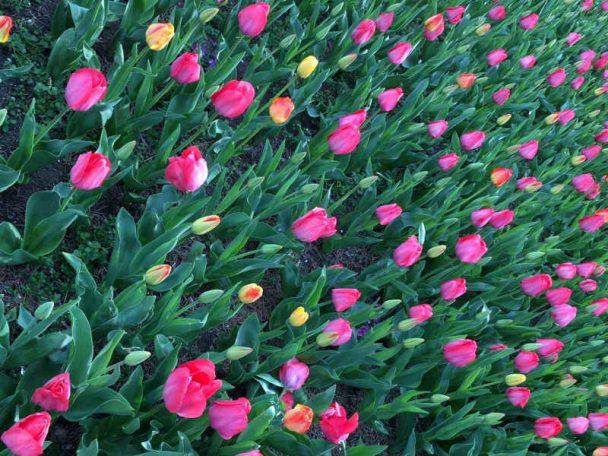 Alles Gute zum Frauentag mit Tulpen